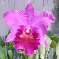 Orchidea Ibrida Cattleya Lucky Strike