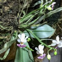 Orchidea Specie Botanica Phalaenopsis Parishii
