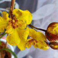 Orchidea Ibrida Zelemnia Midas