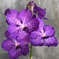 Orchidea Ibrida Vanda Hybrid (blue)