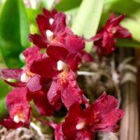 Orchidea Ibrida Howeara Lava Burst