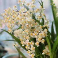 Orchidea Ibrida Oncidium Twinkle (yellow)