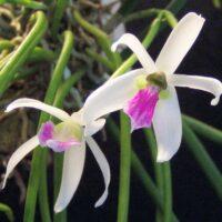 Orchidea Specie Botanica Leptotes Bicolor